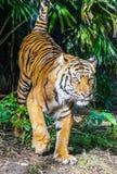 majestätisk tiger Arkivfoto