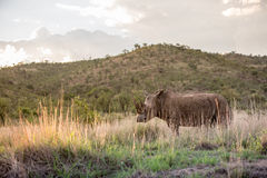 Majestätisk vit noshörning Fotografering för Bildbyråer