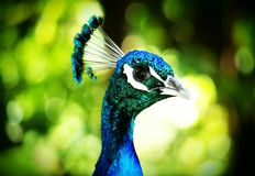 Majestätiska blått Arkivfoto