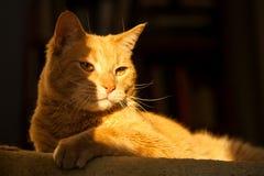 Majestätiska Ginger Cat i solljus Royaltyfri Bild