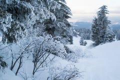 Majestätiska granar för vinterlandskap som täckas med snö arkivfoton