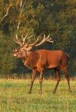 Majestätiska hjortar i brunst Arkivfoto