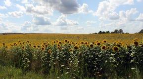 Majestätiska solrosor bland ukrainsk by Fotografering för Bildbyråer