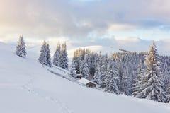 Majestätiska vita granar som glöder vid solljus Pittoresk och ursnygg vintrig plats Carpathian medborgare för lägeställe Arkivfoto
