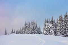 Majestätiska vita granar som glöder vid solljus Pittoresk och ursnygg vintrig plats Carpathian medborgare för lägeställe Royaltyfri Foto