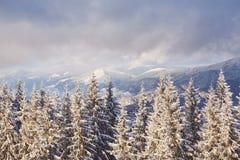 Majestätiska vita granar som glöder vid solljus Pittoresk och ursnygg vintrig plats Carpathian medborgare för lägeställe Arkivfoton