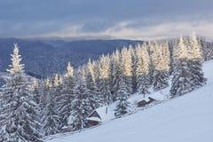 Majestätiska vita granar som glöder vid solljus Pittoresk och ursnygg vintrig plats Carpathian medborgare för lägeställe Royaltyfria Bilder