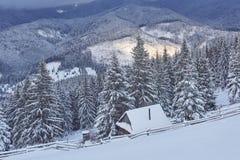 Majestätiska vita granar som glöder vid solljus Pittoresk och ursnygg vintrig plats Carpathian medborgare för lägeställe Royaltyfria Foton