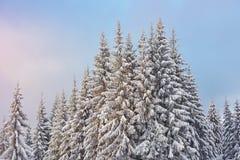 Majestätiska vita granar som glöder vid solljus Pittoresk och ursnygg vintrig plats Carpathian medborgare för lägeställe Fotografering för Bildbyråer