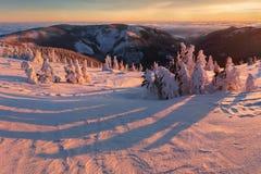 Majestätiska vita granar som glöder vid solljus Pittoresk och ursnygg vintrig plats Jeseniky berg, Tjeckien arkivfoto