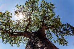 Majestätiskt baobabträd arkivbild