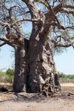 Majestätiskt baobabträd fotografering för bildbyråer