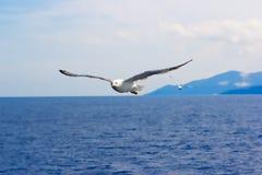 Majestätiskt flyg av seagullen Arkivfoton