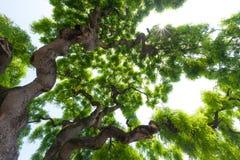 Majestätiskt gräsplankrona av det högväxta stora almträdet med knotigt, twis Arkivbilder