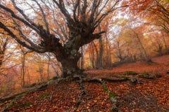 Majestätiskt landskap med höstträd i skog Fotografering för Bildbyråer