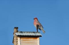 Majestätiskt rött sörjer den gros näbb Fotografering för Bildbyråer