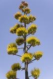 majestatyczna agawy roślina Fotografia Royalty Free