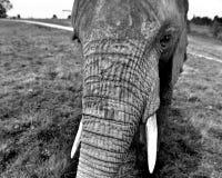 Majestatyczna bestia: Afrykański słoń zdjęcie royalty free