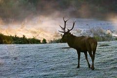 majestatyczna byk łąka fotografia royalty free
