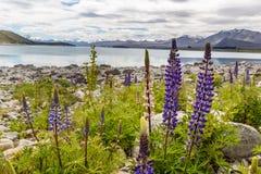 Majestatyczna góra z llupins kwitnie, Jeziorny Tekapo, Nowa Zelandia Zdjęcie Stock