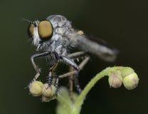 Majestatyczna rabuś komarnicy makro- zieleń Zdjęcia Royalty Free