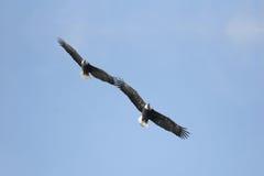 majestatyczni łysi orły Obraz Royalty Free