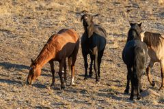 Majestatyczni Dzicy konie w pustyni Fotografia Royalty Free