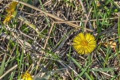 Majestatyczny żółty wildflower w lecie obraz stock