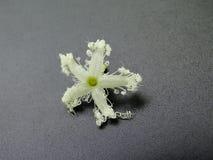 Majestatyczny biały kwiat odizolowywający na czerni, zbliżenie wizerunek fotografia royalty free