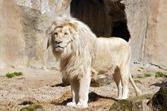 Majestatyczny biały lew Zdjęcia Royalty Free
