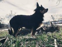 Majestatyczny chihuahua zdjęcie stock