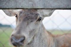 Majestatyczny czerwonego rogacza jeleń w jesień spadku fotografia stock