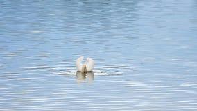 Majestatyczny dorosły łabędzi pływanie na gładkim poziomie wody z odbiciami i błyska zdjęcie wideo
