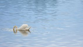 Majestatyczny dorosły łabędzi pływanie na gładkim poziomie wody z odbiciami i błyska zbiory