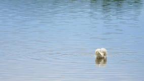 Majestatyczny dorosły łabędzi pływanie na gładkim poziomie wody z odbiciami i błyska zbiory wideo
