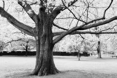 Majestatyczny drzewo w parku obraz royalty free