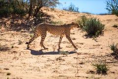 Majestatyczny gepard zdjęcie royalty free