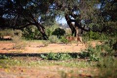 Majestatyczny gepard Obrazy Royalty Free