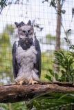 Majestatyczny orła harpy ptak w Brazylia Zdjęcia Stock