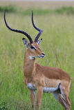 Majestatyczny Impala obrazy royalty free