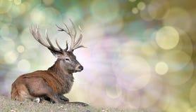 Majestatyczny jeleń cieszy się pokojowego odpoczynek zdjęcie royalty free
