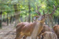 Majestatyczny jeleń z stadem w zielonym parku obraz stock