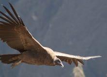 Majestatyczny kondor zdjęcia stock