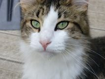 Majestatyczny kot Fotografia Stock