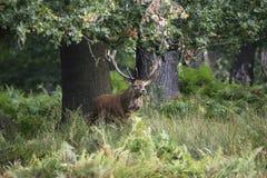 Majestatyczny potężny czerwonego rogacza jelenia Cervus Elaphus w lasowym landsca Obraz Stock