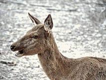Majestatyczny potężny dorosły ugorów rogaczy jeleń w spadku lesie zdjęcia royalty free