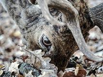 Majestatyczny potężny dorosły ugorów rogaczy jeleń w spadku lesie obraz royalty free