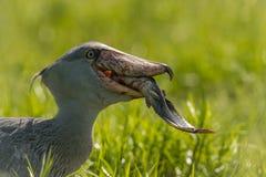 Majestatyczny ptak bagna i znakomity rybak jest w typowym zielonym środowisku Ja właśnie łapał swój ryby i zdjęcie royalty free