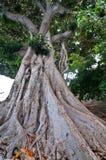 majestatyczny stary drzewo Zdjęcia Stock