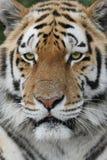 majestatyczny tygrys Fotografia Royalty Free